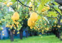 Les fruits arrivent à maturité pour Lemon Way.