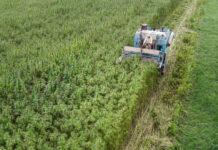 La France s'affiche comme l'un des plus grands producteurs de chanvre au monde.